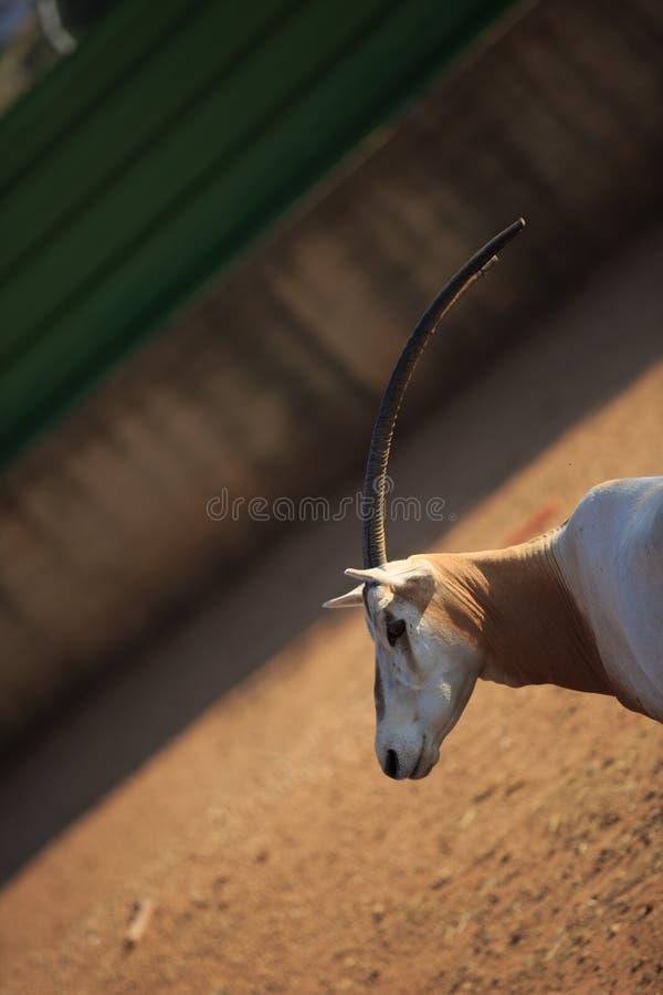 rogaty oryx okręt fotografia stock