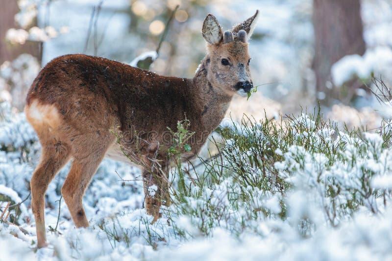 Rogenrotwild, die in einem holländischen Winterwald weiden lassen stockfotografie