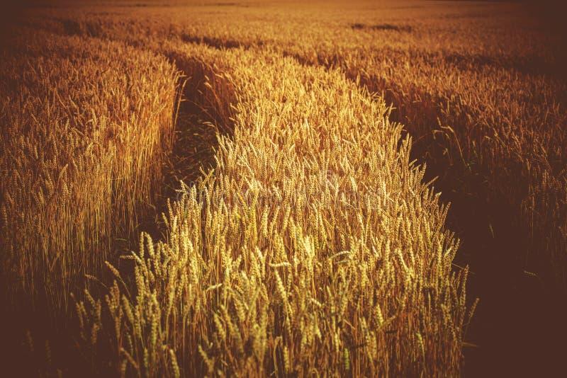 Roggegebied met Tractorsporen stock fotografie