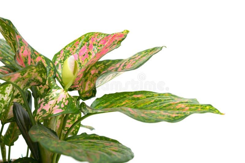 Rohdea ή πάντα πράσινος στο άσπρο υπόβαθρο στοκ εικόνα με δικαίωμα ελεύθερης χρήσης