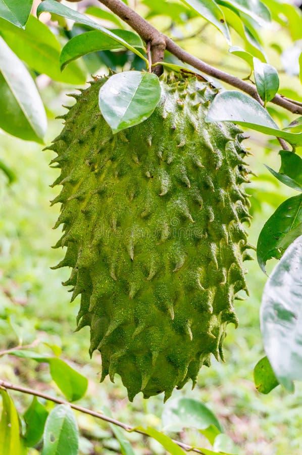 Rohe Frucht der sauer Sobbe stockfoto