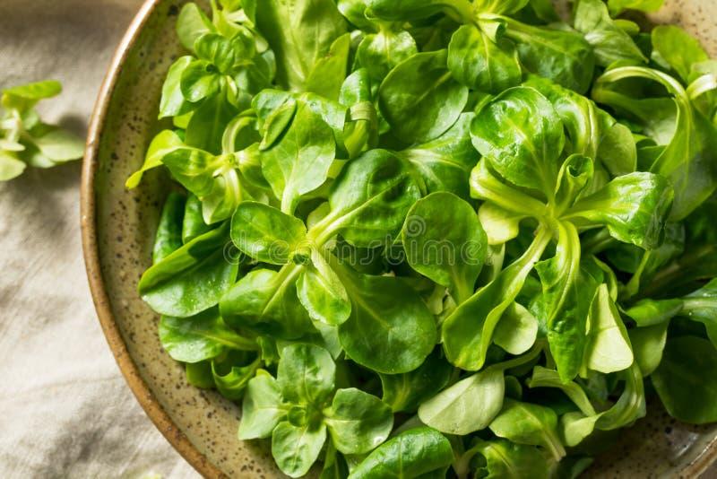 Rohe grüne organische Mache-Rosetten stockbilder