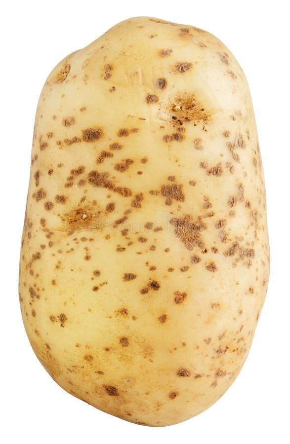 Rohe Kartoffel lizenzfreies stockfoto