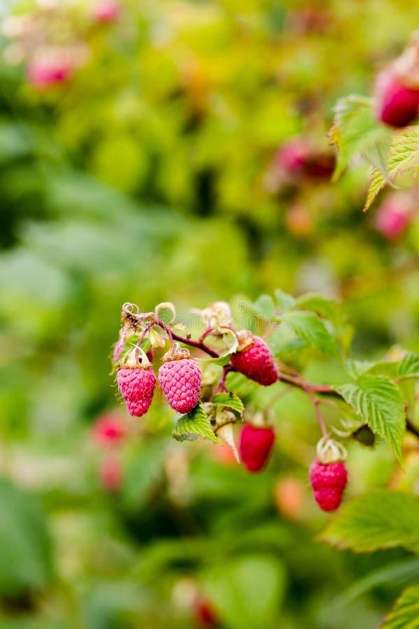 Rohe saftige rosa Himbeeren auf Niederlassung im Obstgarten stockbild