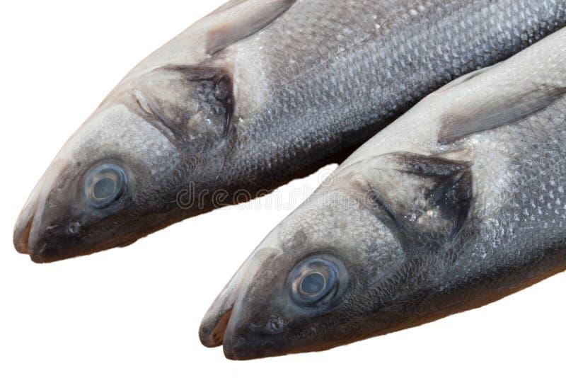 Rohe Seebarschfische stockfotografie
