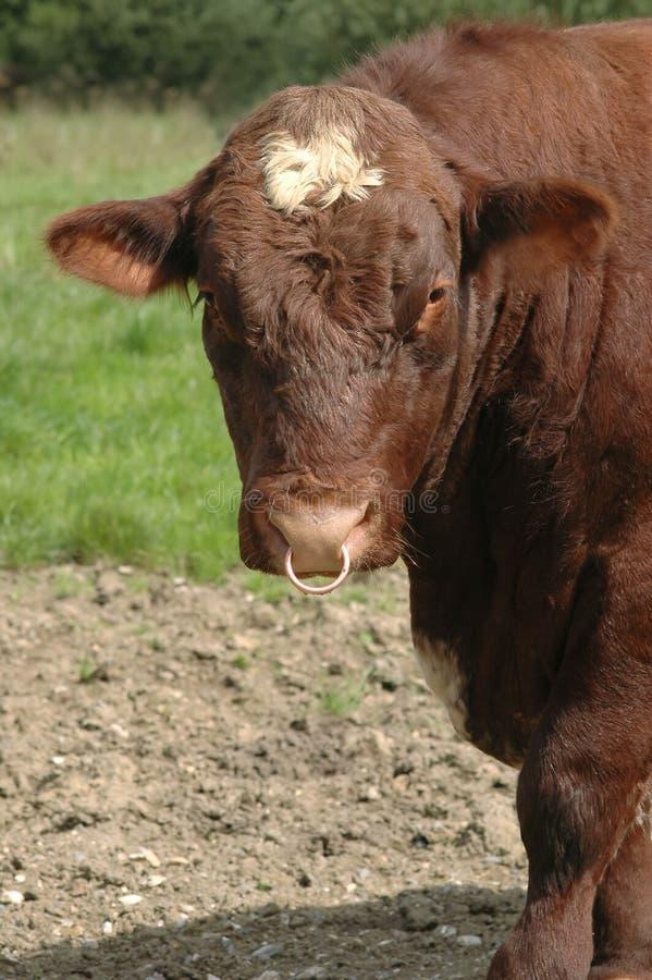 Rohes Rindfleisch stockfotografie