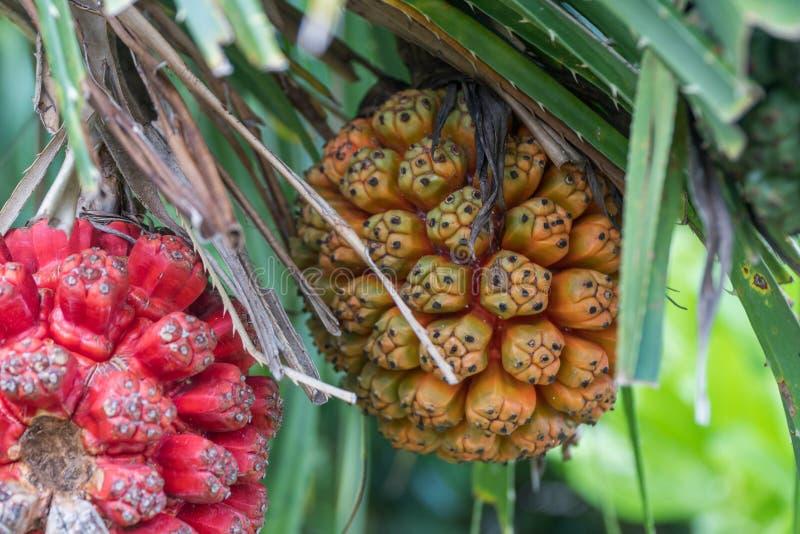 Rohes und reifes Pandanus-odorifer oder Schraubenpalme auf dem Baum lizenzfreie stockbilder