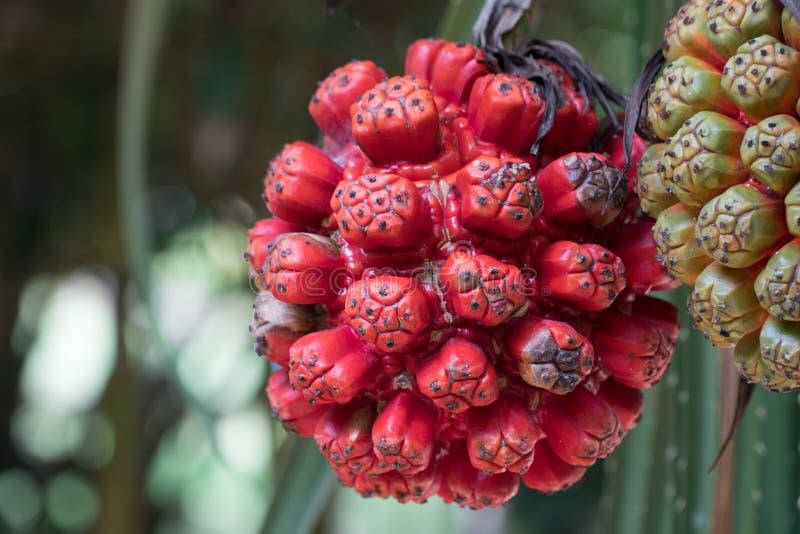 Rohes und reifes Pandanus-odorifer oder Schraubenpalme auf dem Baum stockfotografie