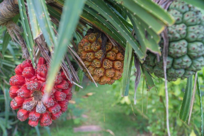 Rohes und reifes Pandanus-odorifer oder Schraubenpalme auf dem Baum lizenzfreies stockbild