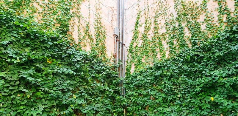 Rohrleitung aus nicht rostfreiem Stahl an der Wand zwischen grünem Kiefer- oder Efeu-Werk für den Hintergrund lizenzfreies stockfoto
