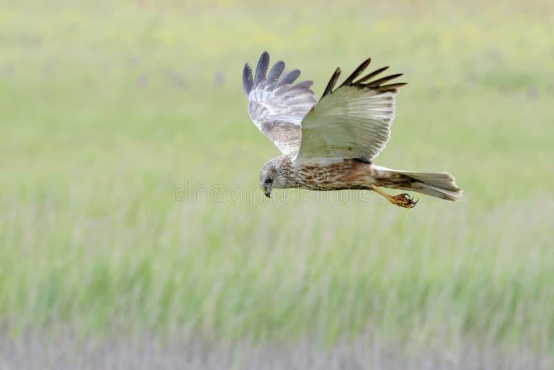 Rohrweihe, die über cropfield jagt lizenzfreie stockfotografie