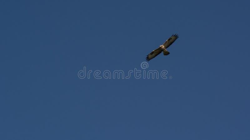 Rohrweihe, Insel Holland Ameland Wadden die Niederlande stockfotos