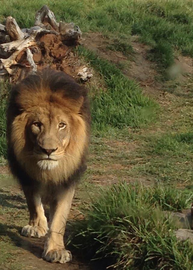 Roi de la jungle photos stock
