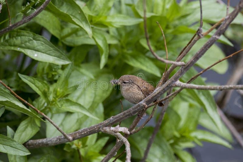 Roitelet avec des insectes dans un buisson image stock