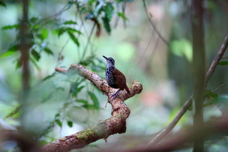 Roitelet-bavard de Bornean photos libres de droits