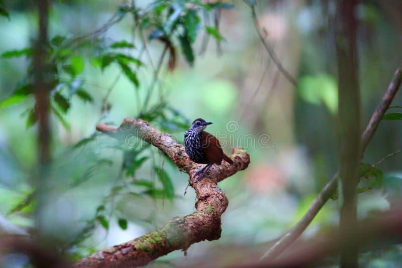 Roitelet-bavard de Bornean images libres de droits