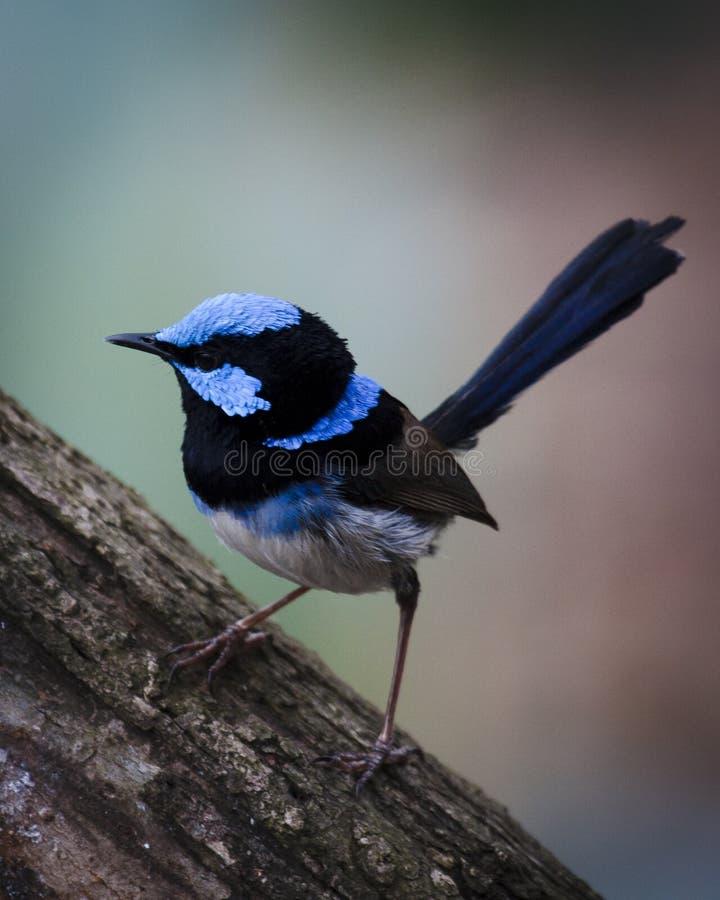 Roitelet bleu mâle étant perché photo libre de droits