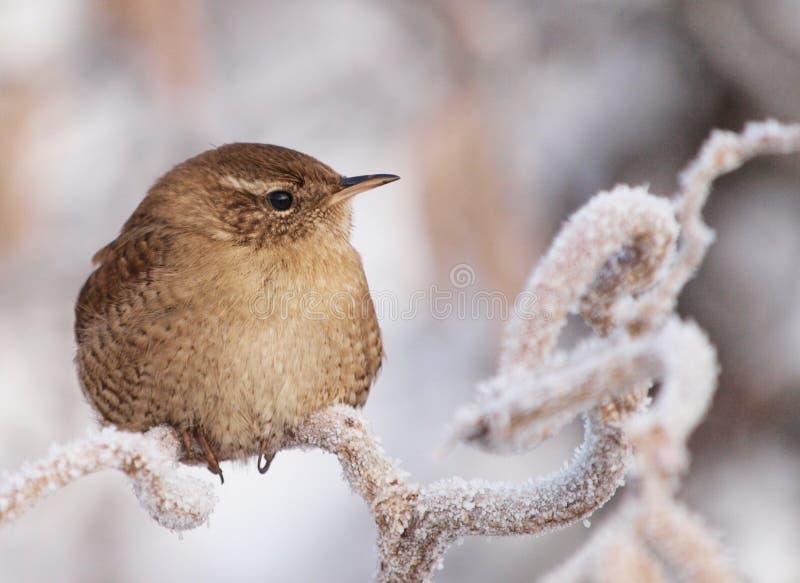 Roitelet d'hiver images libres de droits