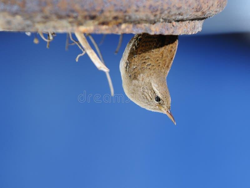 Roitelet d'hiver dans le nid. photographie stock