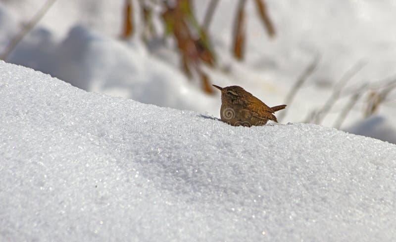 Roitelet dans la neige photos libres de droits