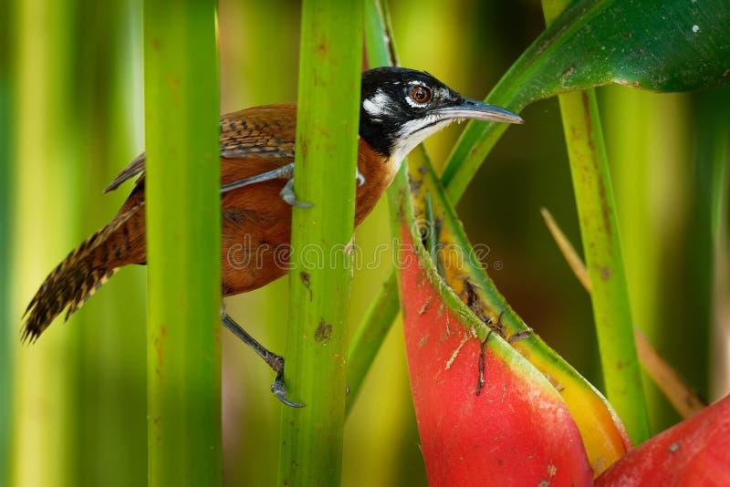 Roitelet de baie - le nigricapillus de Cantorchilus est des espèces fortement vocales d'un roitelet des secteurs boisés, particul photographie stock