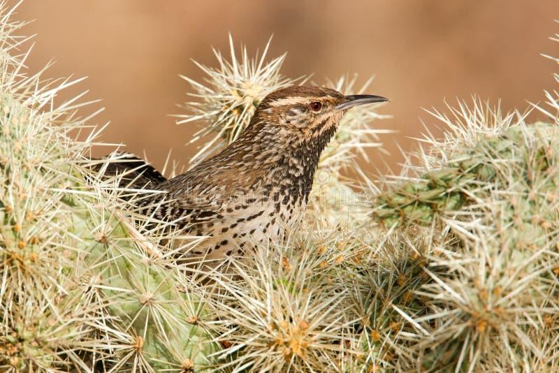 Roitelet de cactus image libre de droits