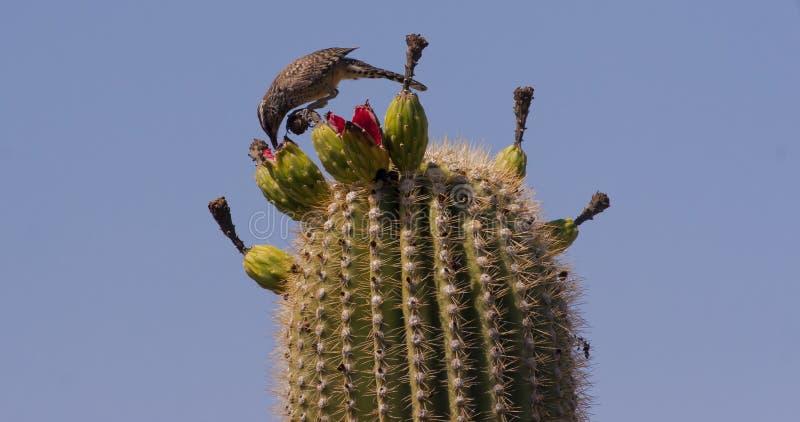 Roitelet de cactus alimentant sur le Saguaro image libre de droits