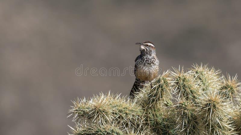 Roitelet de cactus de Brown photo stock