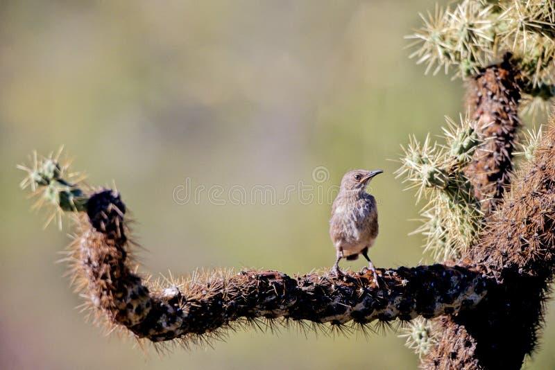 Roitelet de cactus, brunneicapillus de Campylorhynchus photographie stock libre de droits