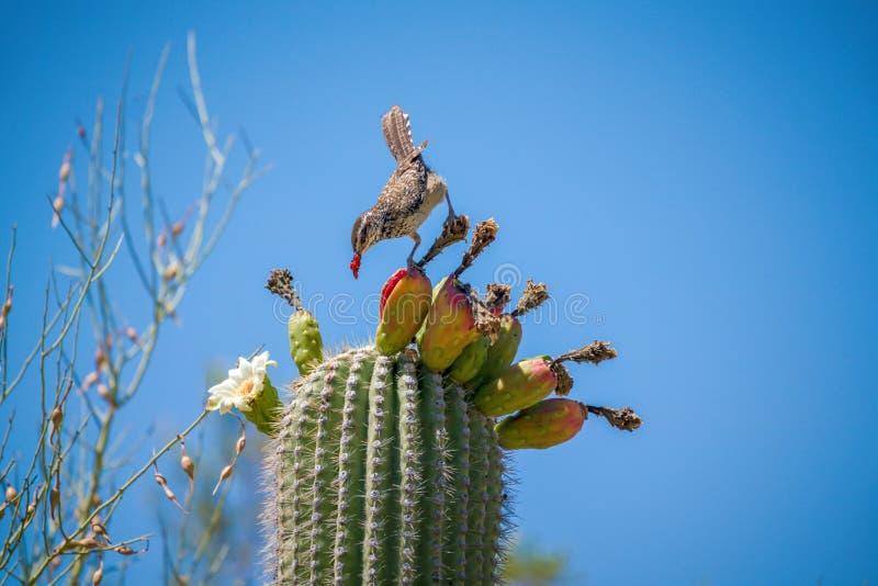 Roitelet de cactus mangeant du fruit de cactus de Saguaro sur le dessus contre le ciel image stock
