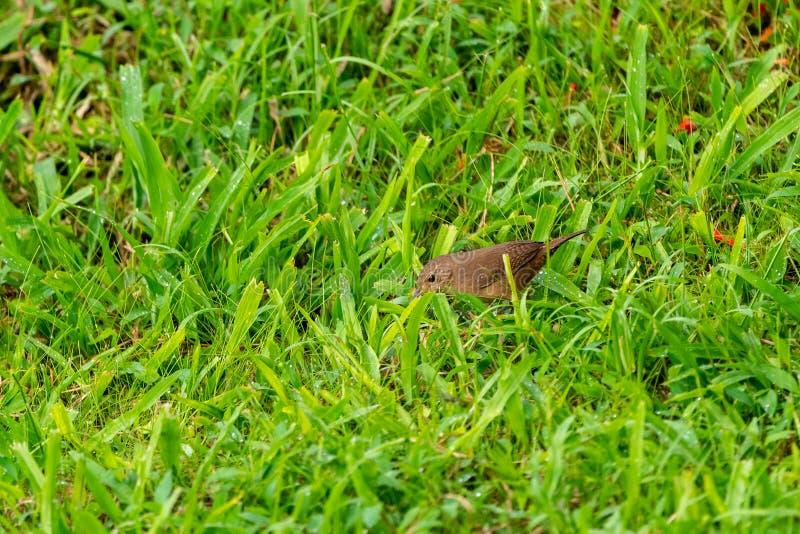 Roitelet ( de Chambre ; Troglodytes aedon) ; en Costa Rica photos libres de droits