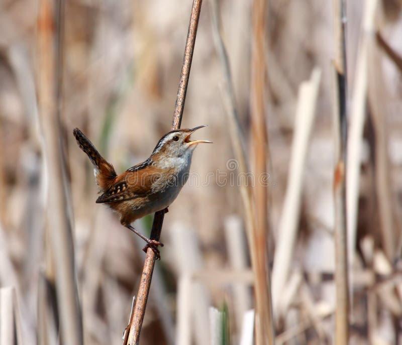 Roitelet de marais photo libre de droits