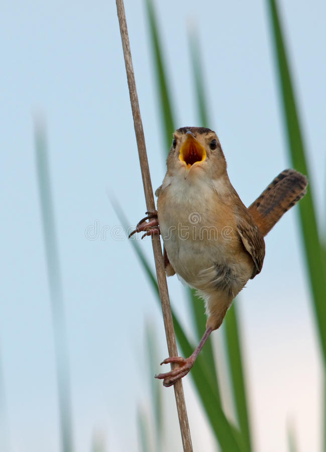 Roitelet de marais de chant image libre de droits