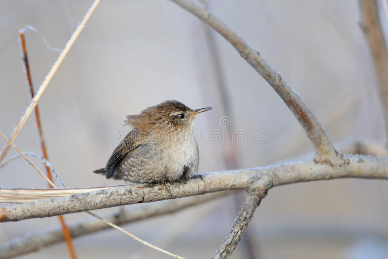 Roitelet eurasien en hiver photos libres de droits
