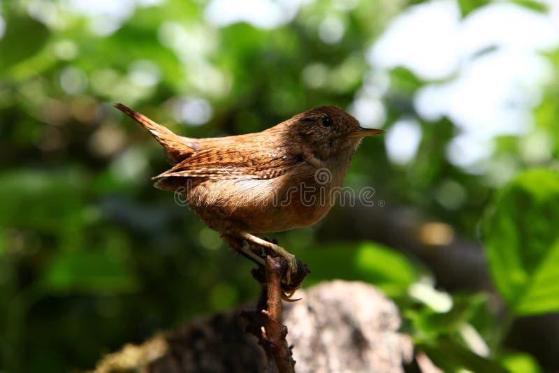 Roitelet eurasien Oiseau sauvage dans un habitat normal images stock