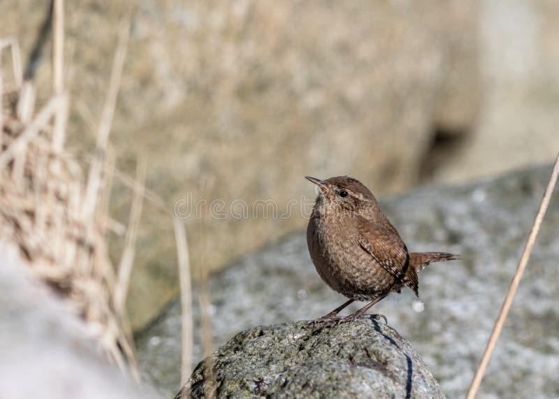 Roitelet eurasien, troglodytes de troglodytes Oiseau se reposant sur une roche regardant vers la gauche, l'espace de copie du côt photo stock