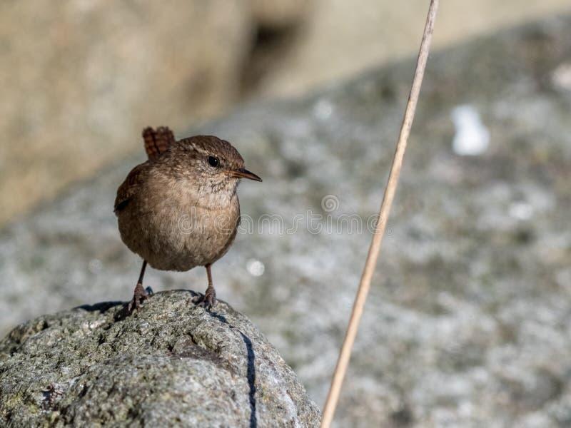 Roitelet eurasien, troglodytes de troglodytes Oiseau se reposant sur une roche un jour ensoleillé image stock