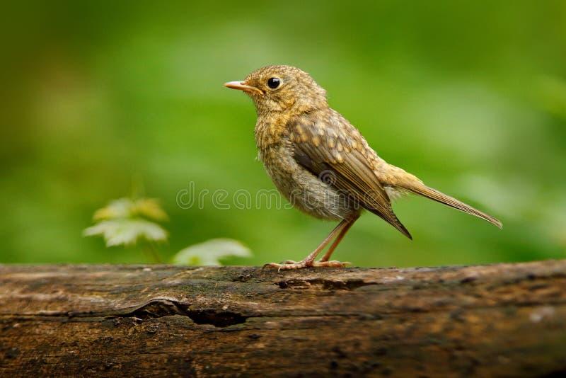 Roitelet eurasien, troglodytes de troglodytes, oiseau très petit se reposant sur la branche d'arbre gentille de lichen avec, peti images stock