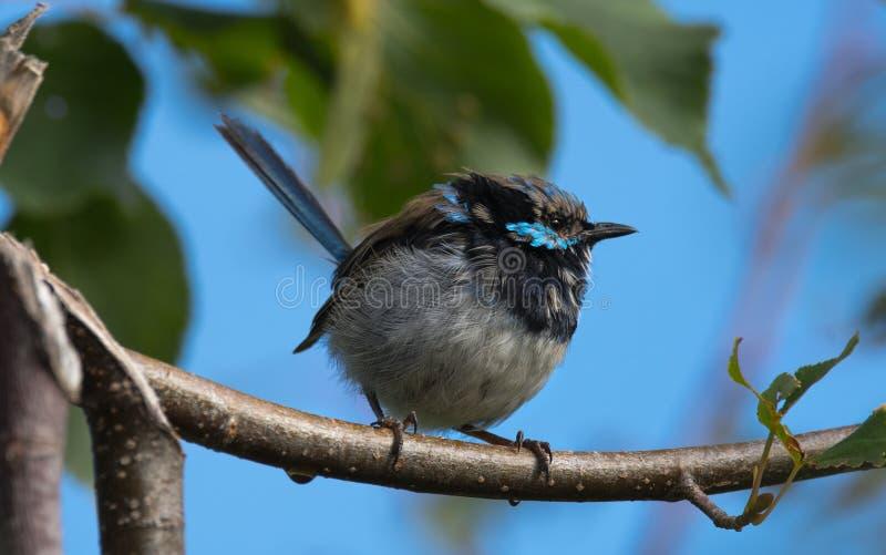 Roitelet f?erique superbe en Tasmanie images libres de droits