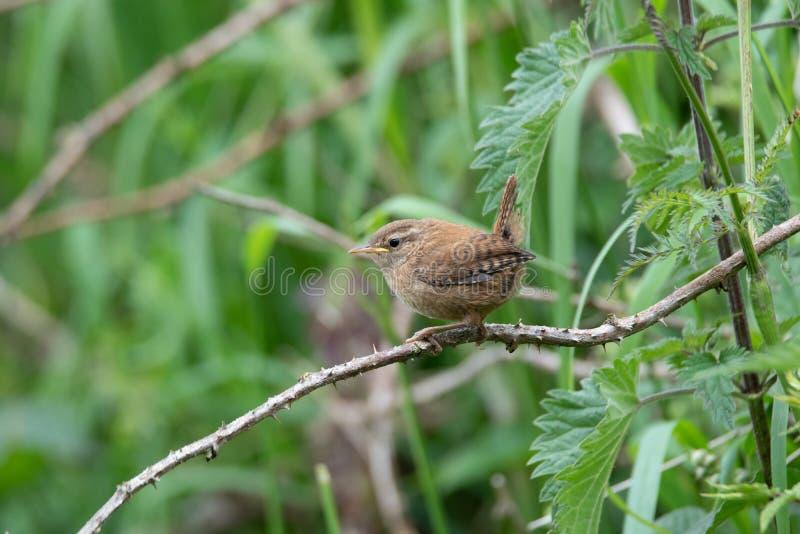 roitelet Oiseau de multiplication BRITANNIQUE commun photographie stock libre de droits