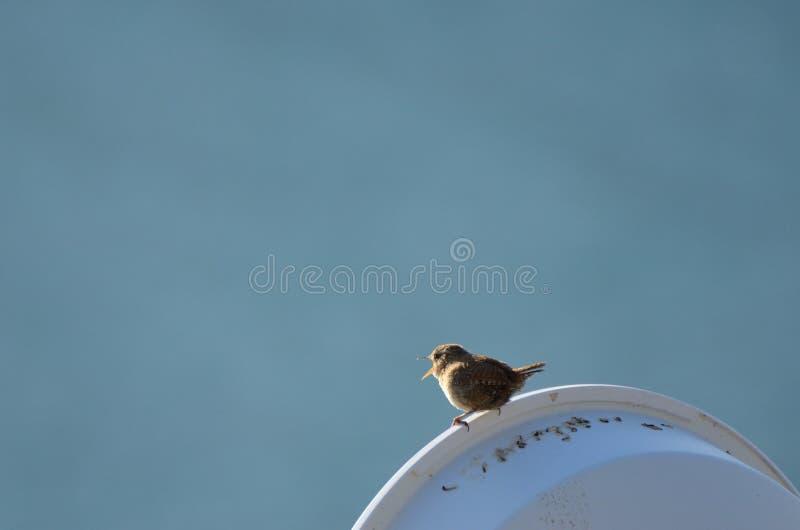 Roitelet, petit oiseau britannique photographie stock libre de droits