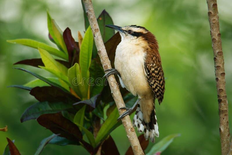 Roitelet rufous-naped - le rufinucha de Campylorhynchus est oiseau chanteur du Troglodytidae de famille, les roitelets C'est un é photographie stock libre de droits