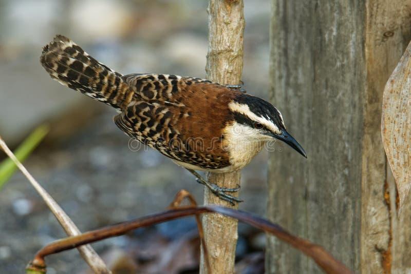Roitelet rufous-naped - le rufinucha de Campylorhynchus est oiseau chanteur du Troglodytidae de famille, les roitelets C'est un ? image libre de droits