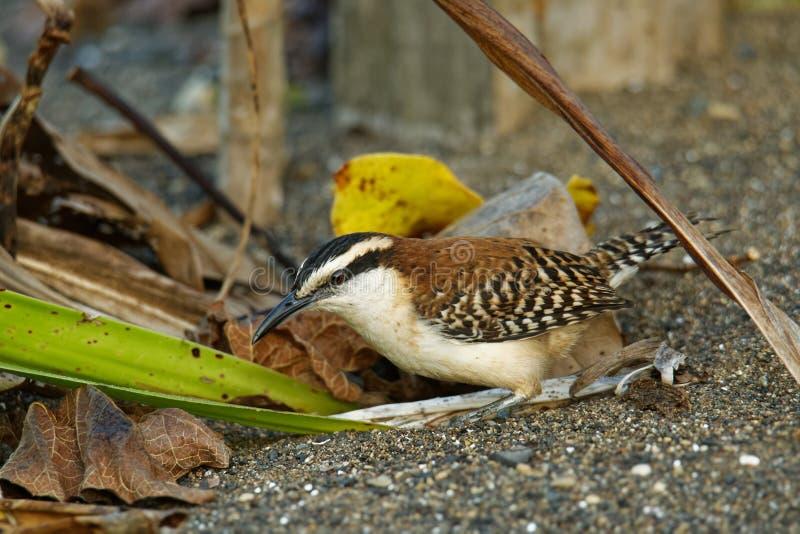 Roitelet rufous-naped - le rufinucha de Campylorhynchus est oiseau chanteur du Troglodytidae de famille, les roitelets C'est un ? photos libres de droits