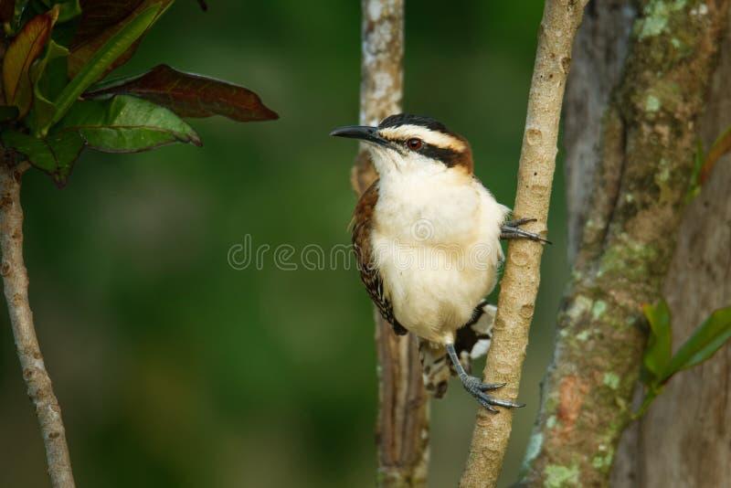 Roitelet rufous-naped - le rufinucha de Campylorhynchus est oiseau chanteur du Troglodytidae de famille, les roitelets C'est un ? photo libre de droits