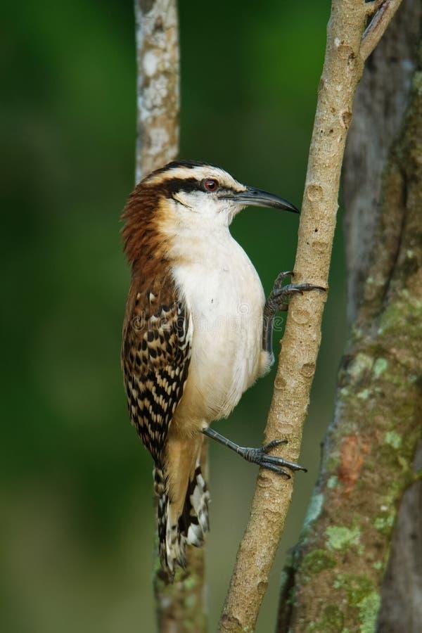Roitelet rufous-naped - le rufinucha de Campylorhynchus est oiseau chanteur du Troglodytidae de famille, les roitelets C'est un ? photographie stock libre de droits