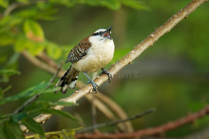 Roitelet rufous-naped - le rufinucha de Campylorhynchus est oiseau chanteur du Troglodytidae de famille, les roitelets C'est un ? images libres de droits