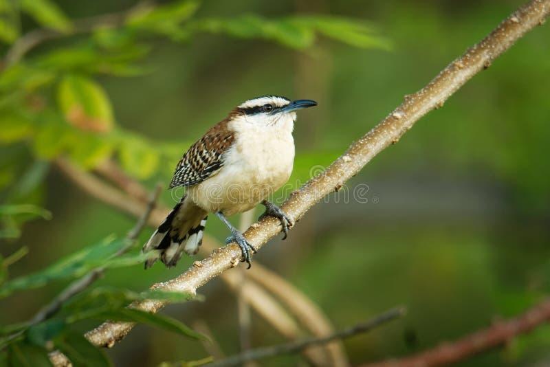 Roitelet rufous-naped - le rufinucha de Campylorhynchus est oiseau chanteur du Troglodytidae de famille, les roitelets C'est un ? photographie stock