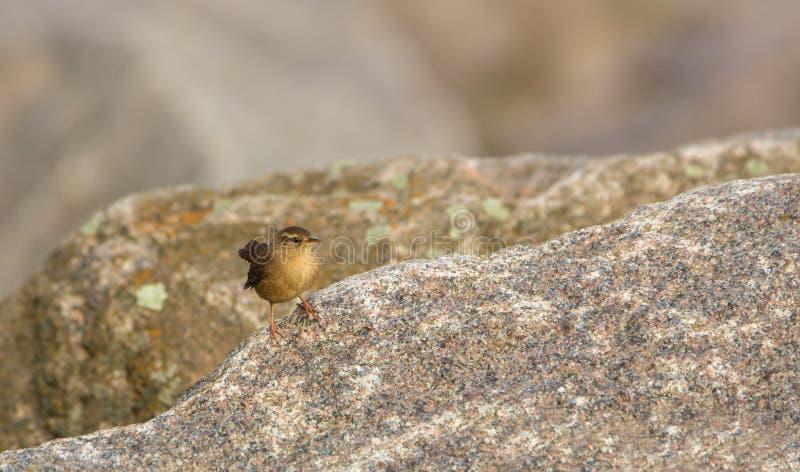 Roitelet sur les roches photographie stock