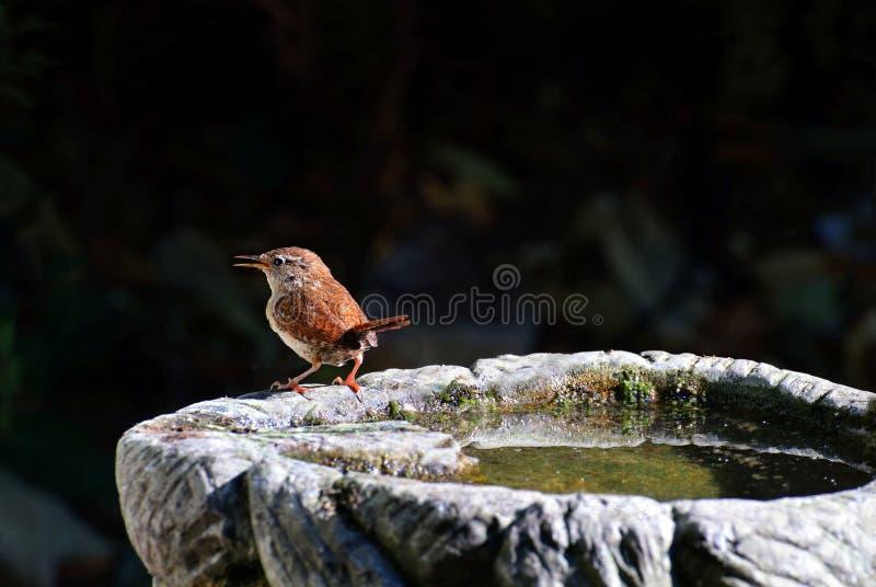 Roitelet sur un bain d'oiseau image libre de droits